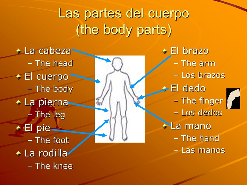 Las partes del cuerpo (the body parts) La cabeza –The head El cuerpo –The body La pierna –The leg El pie –The foot La rodilla –The knee El brazo –The arm –Los brazos El dedo –The finger –Los dedos La mano –The hand –Las manos