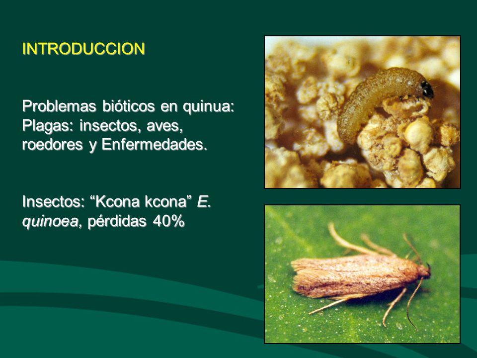 INTRODUCCION Problemas bióticos en quinua: Plagas: insectos, aves, roedores y Enfermedades. Insectos: Kcona kcona E. quinoea, pérdidas 40%