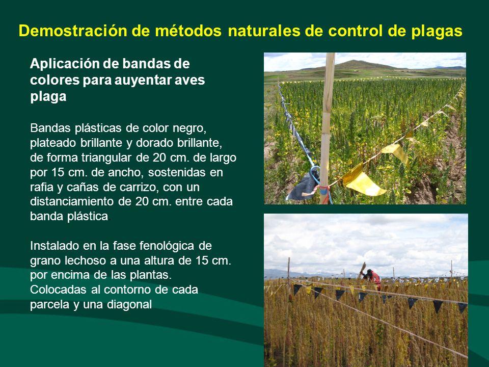 Aplicación de plantas con propiedades biocidas Para el preparado por herbido se utilizaron plantas enteras y secas de kamasayre Nicotiana undulada, paico Chenopodium ambrosioides y semillas de tarwi Lupinus mutabilis (C/U: 100g/litro).