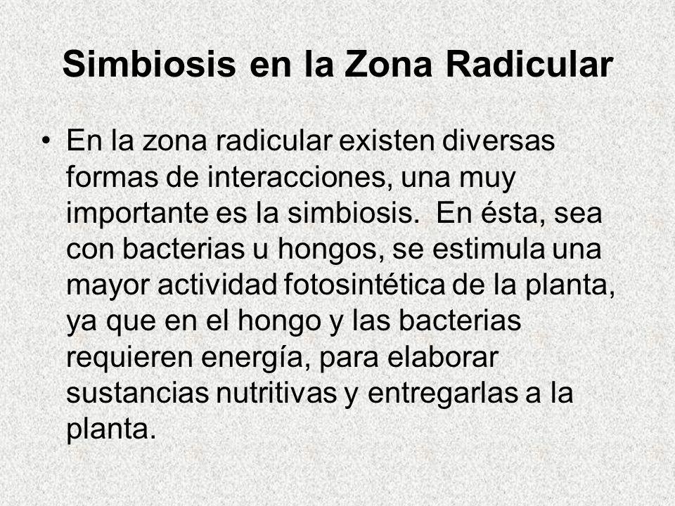 Simbiosis en la Zona Radicular En la zona radicular existen diversas formas de interacciones, una muy importante es la simbiosis. En ésta, sea con bac