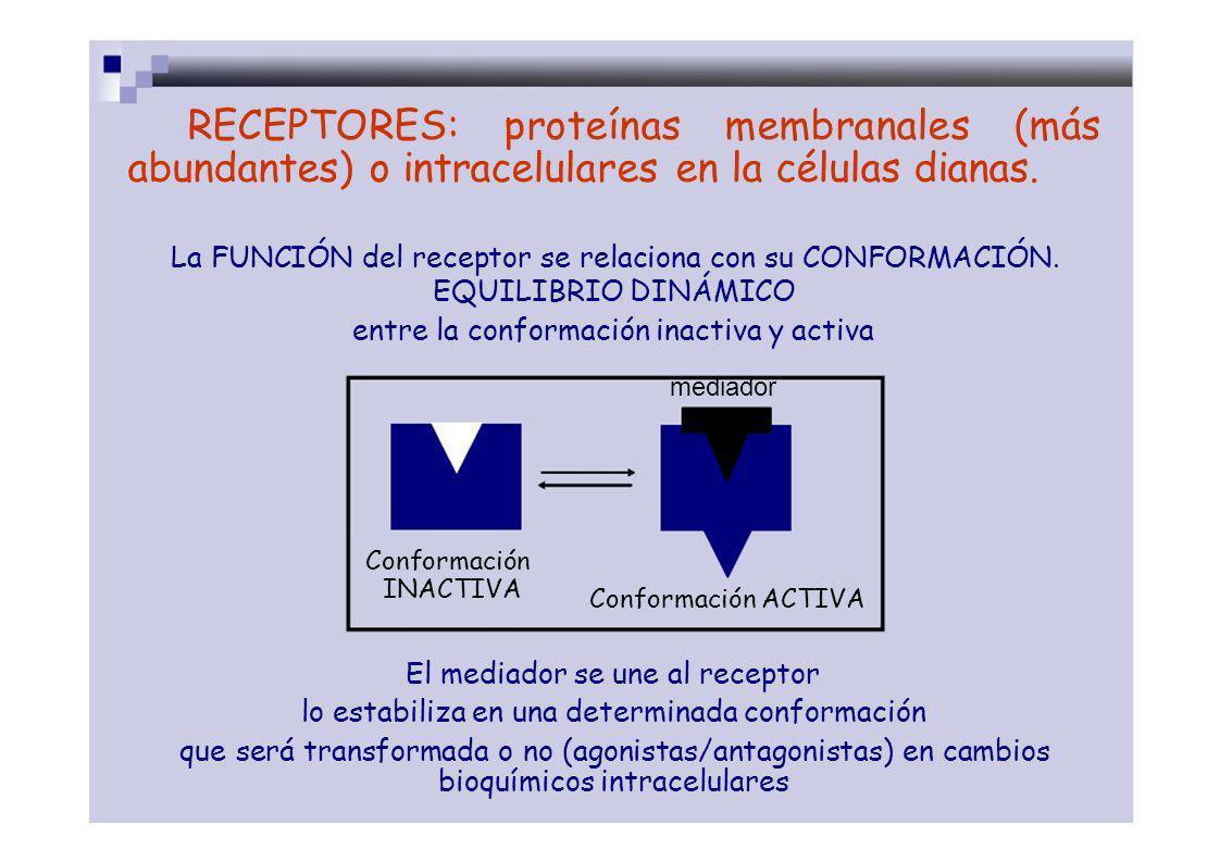 RECEPTORES: proteínas membranales (más abundantes) o intracelulares en la células dianas. La FUNCIÓN del receptor se relaciona con su CONFORMACIÓN. EQ