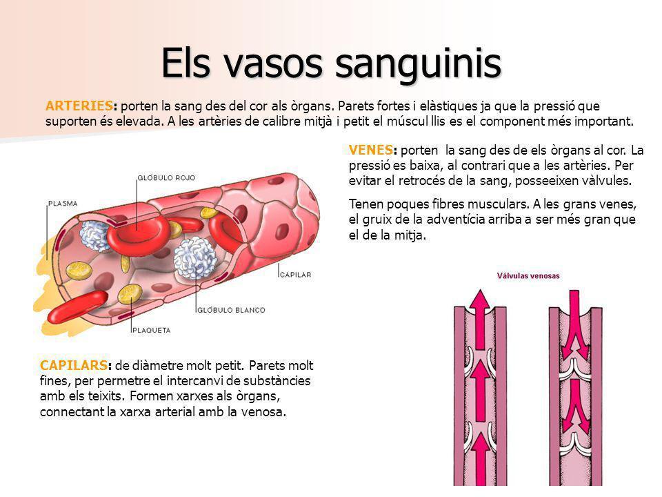 Els vasos sanguinis ARTERIES: porten la sang des del cor als òrgans. Parets fortes i elàstiques ja que la pressió que suporten és elevada. A les artèr