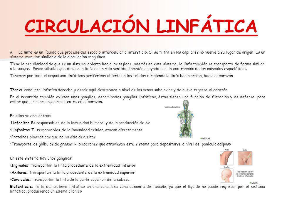 CIRCULACIÓN LINFÁTICA A. La linfa es un líquido que procede del espacio intercelular o intersticio. Si se filtra en los capilares no vuelve a su lugar