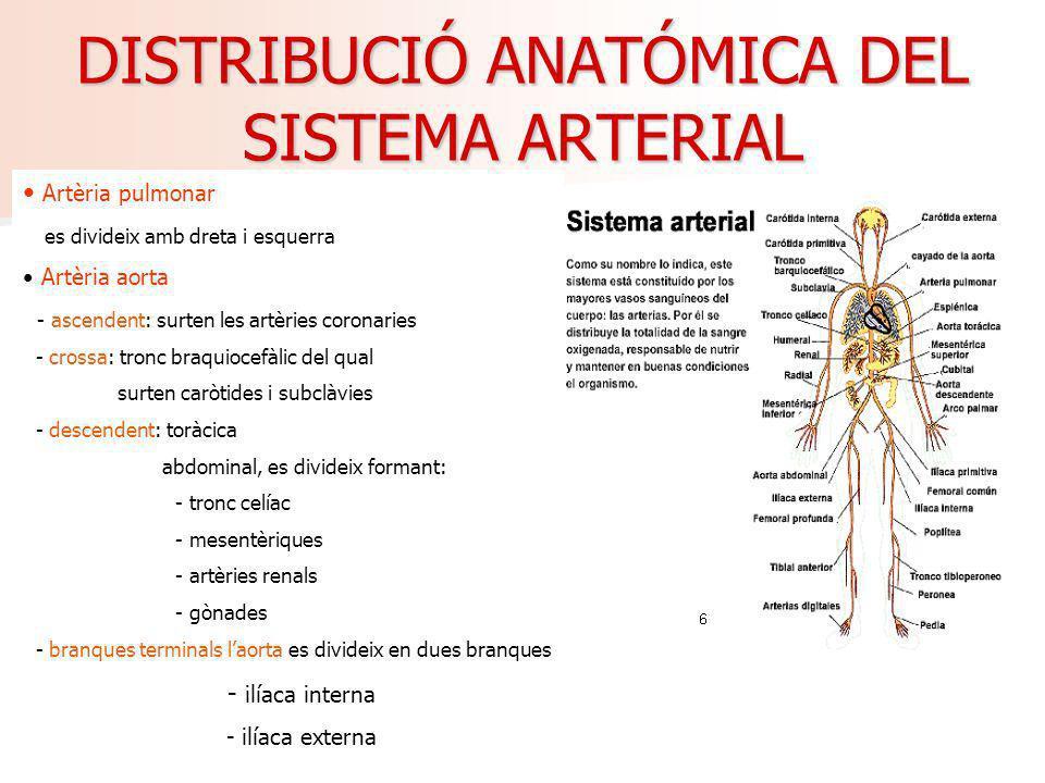 DISTRIBUCIÓ ANATÓMICA DEL SISTEMA ARTERIAL Artèria pulmonar es divideix amb dreta i esquerra Artèria aorta - ascendent: surten les artèries coronaries