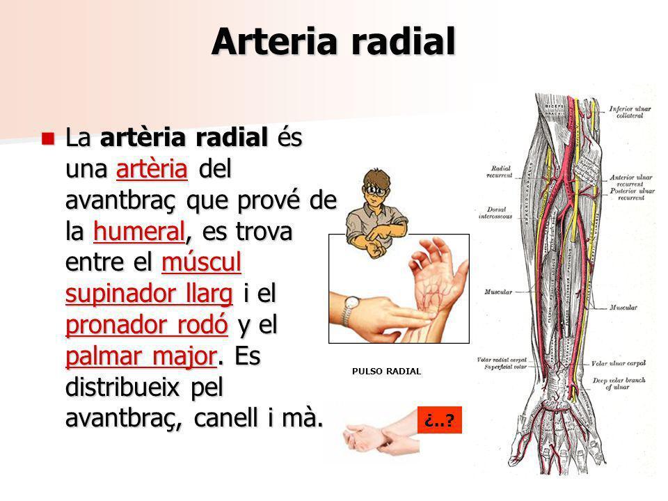Arteria radial La artèria radial és una artèria del avantbraç que prové de la humeral, es trova entre el múscul supinador llarg i el pronador rodó y e
