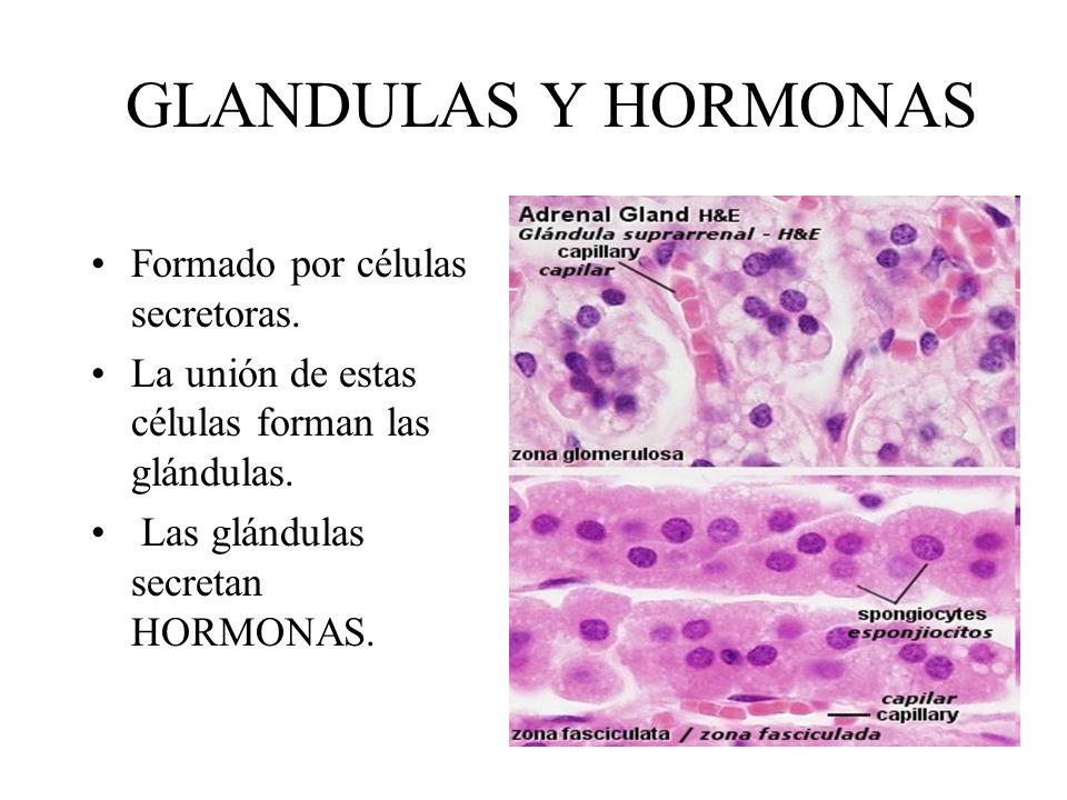 GLANDULAS Y HORMONAS Formado por células secretoras. La unión de estas células forman las glándulas. Las glándulas secretan HORMONAS.