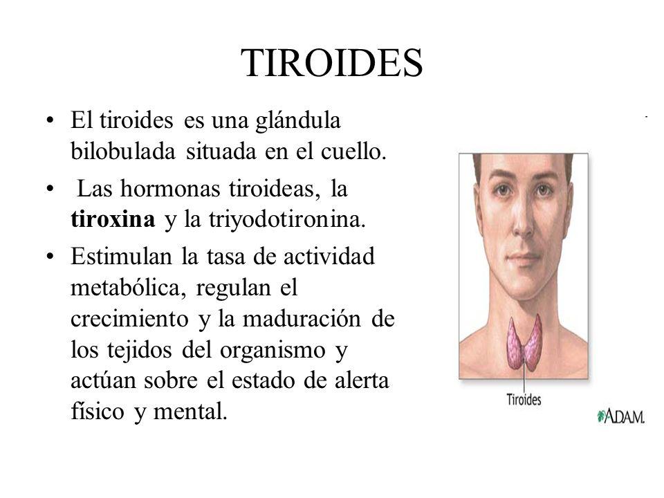 TIROIDES El tiroides es una glándula bilobulada situada en el cuello. Las hormonas tiroideas, la tiroxina y la triyodotironina. Estimulan la tasa de a