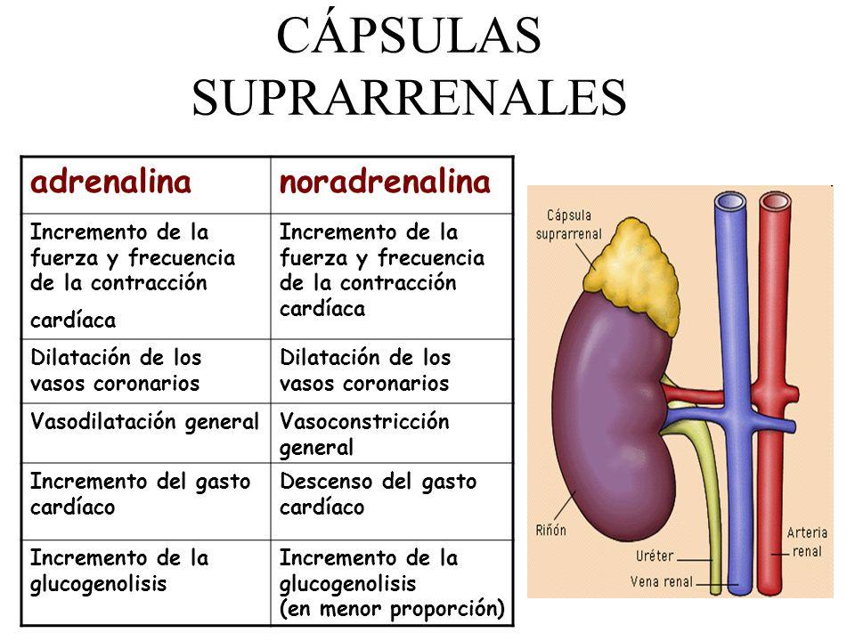 CÁPSULAS SUPRARRENALES adrenalinanoradrenalina Incremento de la fuerza y frecuencia de la contracción cardíaca Dilatación de los vasos coronarios Vaso