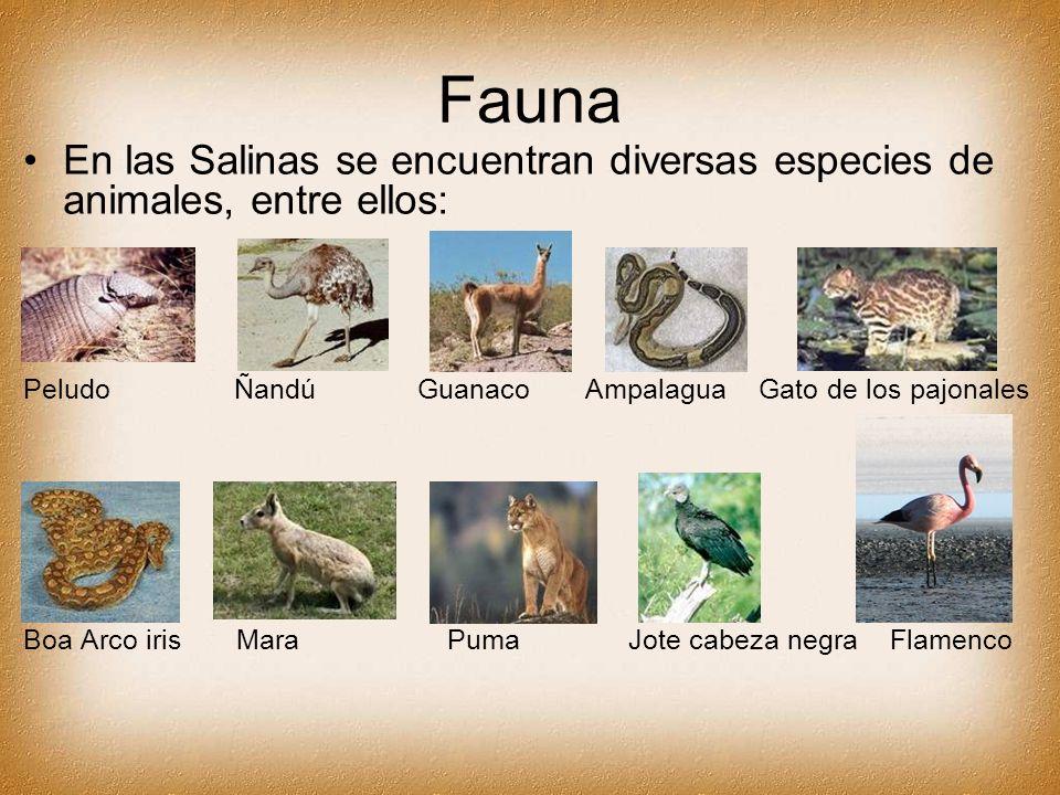 Fauna En las Salinas se encuentran diversas especies de animales, entre ellos: Peludo Ñandú Guanaco Ampalagua Gato de los pajonales Boa Arco iris Mara