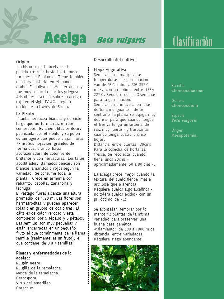 Acelga Beta vulgaris Origen La historia de la acelga se ha podido rastrear hasta los famosos jardines de Babilonia. Tiene también una larga historia e