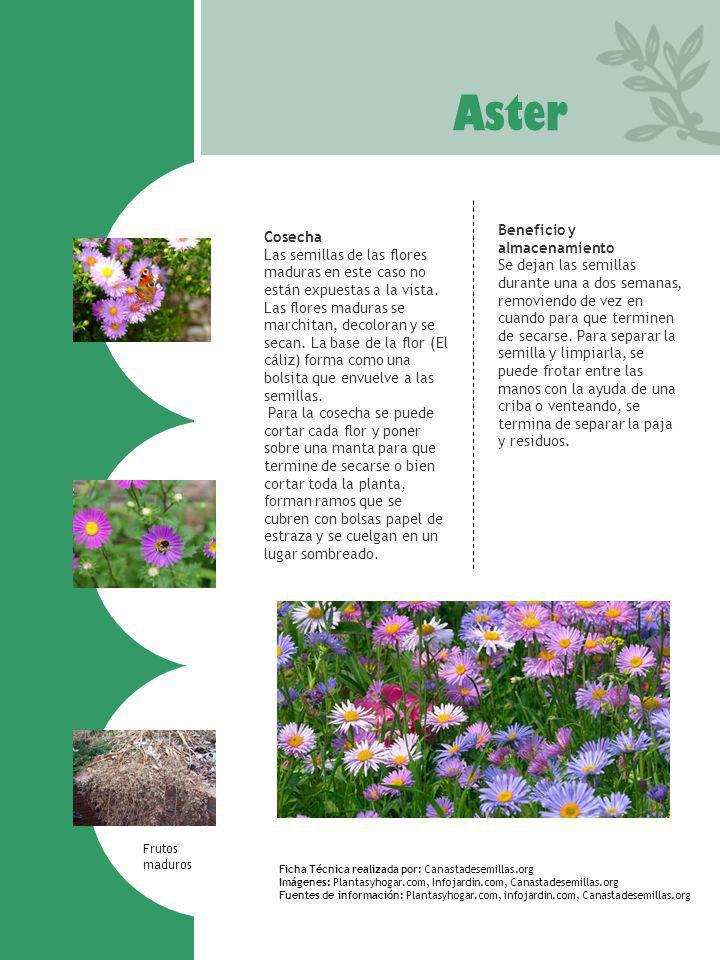 Aster Ficha Técnica realizada por: Canastadesemillas.org Imágenes: Plantasyhogar.com, Infojardin.com, Canastadesemillas.org Fuentes de información: Pl