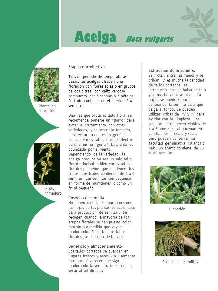 Acelga Beta vulgaris Fruto inmaduro Cosecha de semillas Planta en floración Etapa reproductiva Tras un periodo de temperaturas bajas, las acelgas ofre
