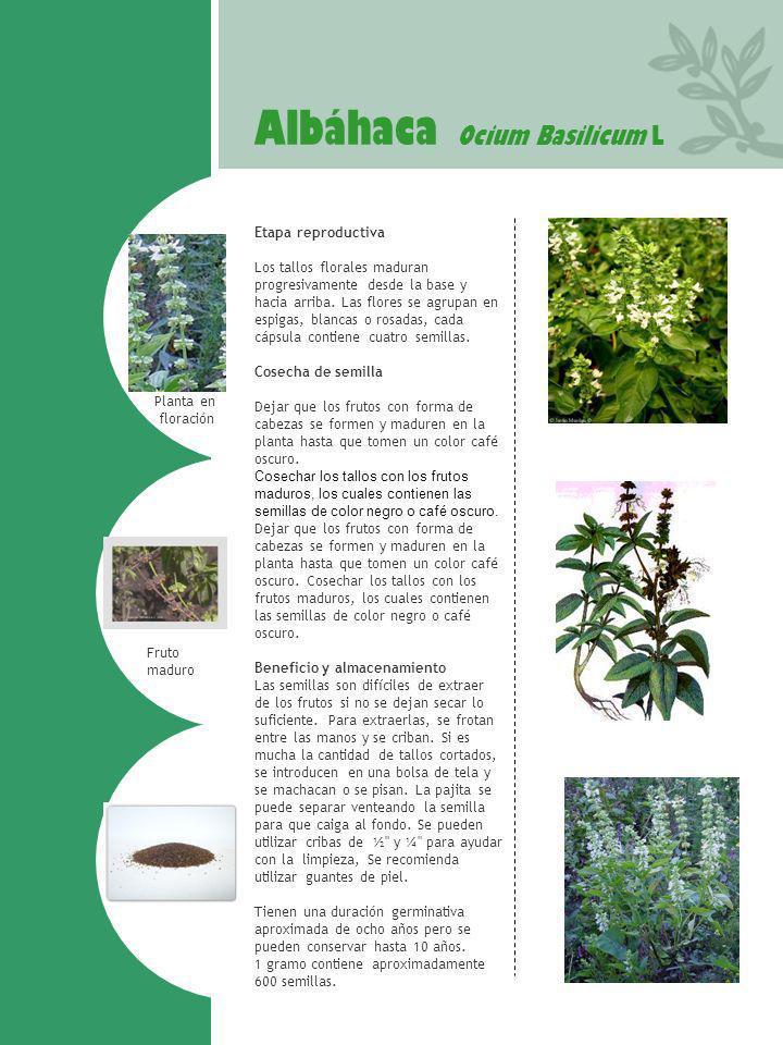 Albáhaca Ocium Basilicum L Planta en floración Fruto maduro Etapa reproductiva Los tallos florales maduran progresivamente desde la base y hacia arrib