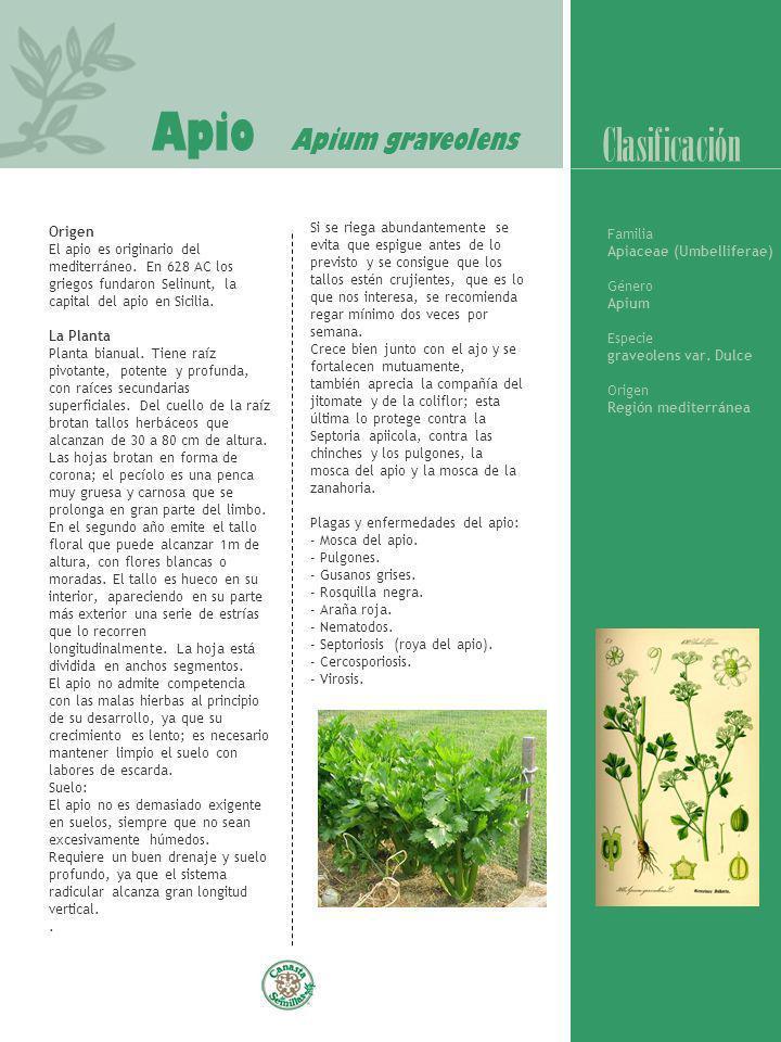 Apio Apium graveolens Origen El apio es originario del mediterráneo. En 628 AC los griegos fundaron Selinunt, la capital del apio en Sicilia. La Plant