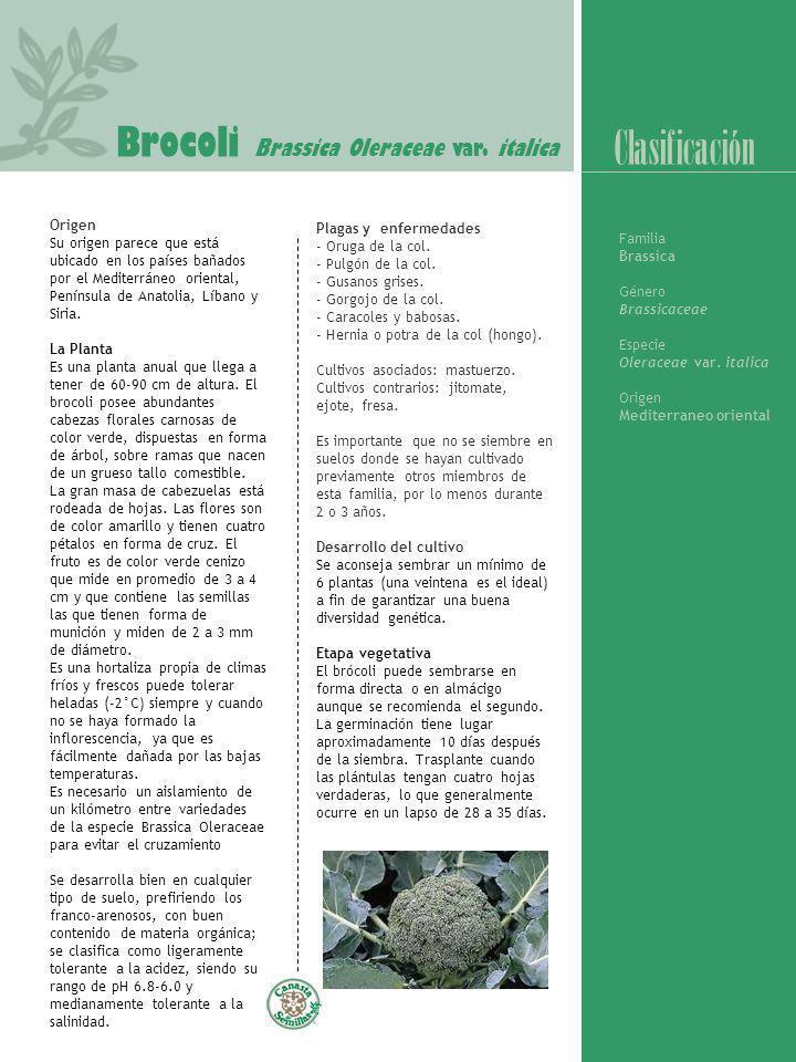 Brocoli Brassica Oleraceae var. italica Origen Su origen parece que está ubicado en los países bañados por el Mediterráneo oriental, Península de Anat