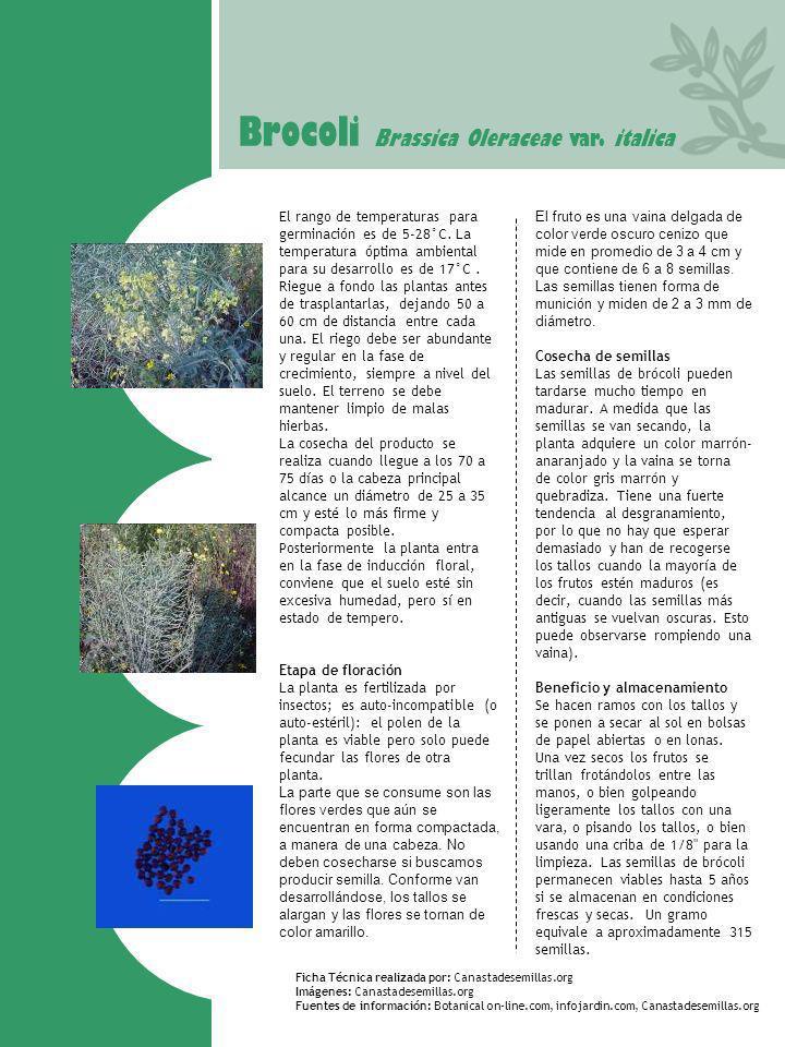 Brocoli Brassica Oleraceae var. italica El rango de temperaturas para germinación es de 5-28°C. La temperatura óptima ambiental para su desarrollo es