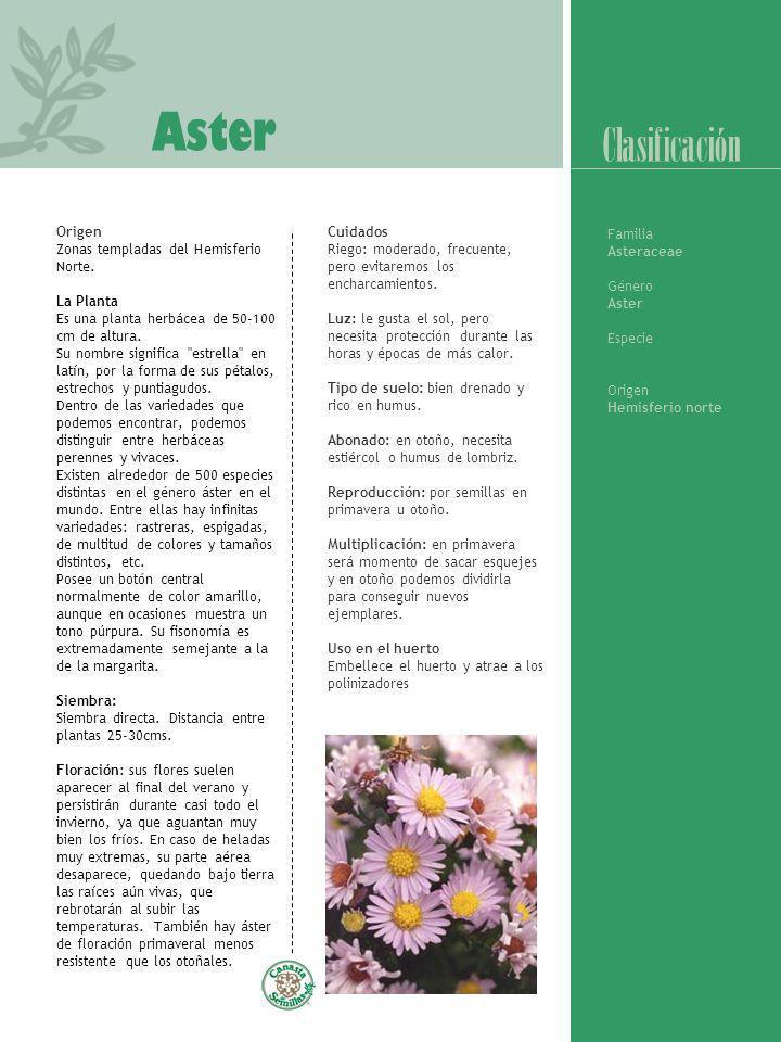 Aster Origen Zonas templadas del Hemisferio Norte. La Planta Es una planta herbácea de 50-100 cm de altura. Su nombre significa