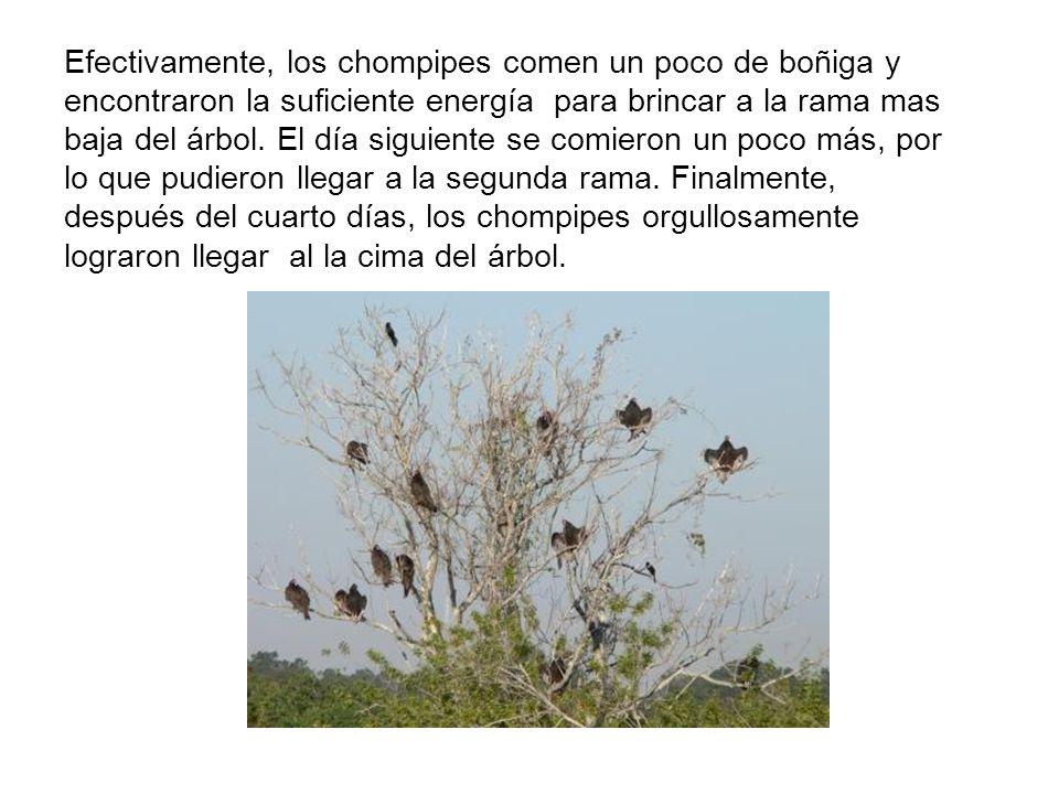 Efectivamente, los chompipes comen un poco de boñiga y encontraron la suficiente energía para brincar a la rama mas baja del árbol. El día siguiente s