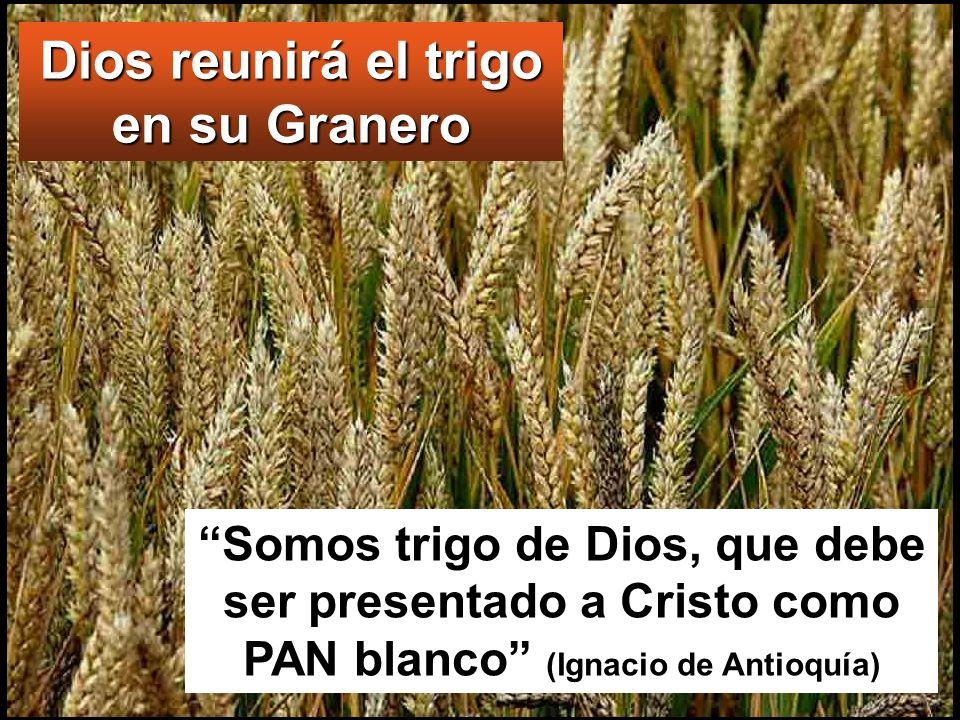 Dios reunirá el trigo en su Granero Somos trigo de Dios, que debe ser presentado a Cristo como PAN blanco (Ignacio de Antioquía)