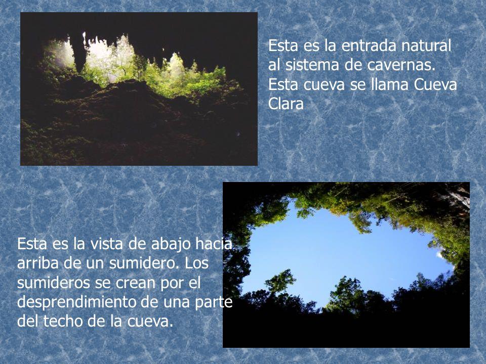 Murciélago Araña, conocida en Puerto Rico como güabá Insecto conocido como Grillo Plántulas: son pequeñas plantitas que crecen dentro de las cuevas debido a las semillas que traen los murciélagos.