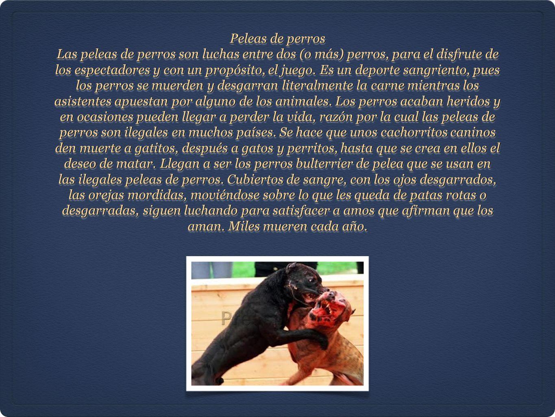 Peleas de perros Las peleas de perros son luchas entre dos (o más) perros, para el disfrute de los espectadores y con un propósito, el juego. Es un de
