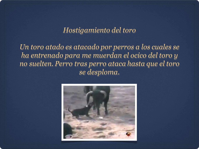 Hostigamiento del toro Un toro atado es atacado por perros a los cuales se ha entrenado para me muerdan el ocico del toro y no suelten. Perro tras per