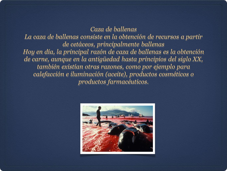 Caza de ballenas La caza de ballenas consiste en la obtención de recursos a partir de cetáceos, principalmente ballenas Hoy en día, la principal razón