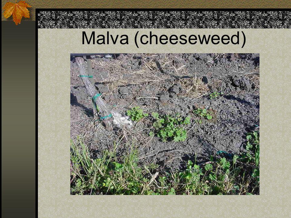 Malva (cheeseweed)