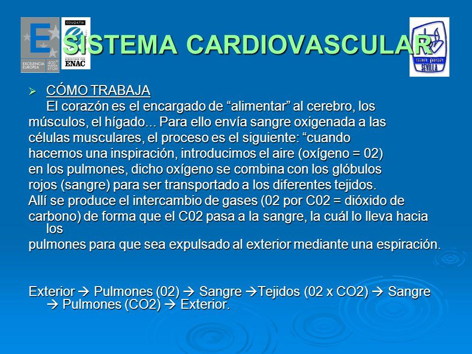 SISTEMA CARDIOVASCULAR SISTEMA CARDIOVASCULAR CÓMO TRABAJA CÓMO TRABAJA El corazón es el encargado de alimentar al cerebro, los músculos, el hígado...