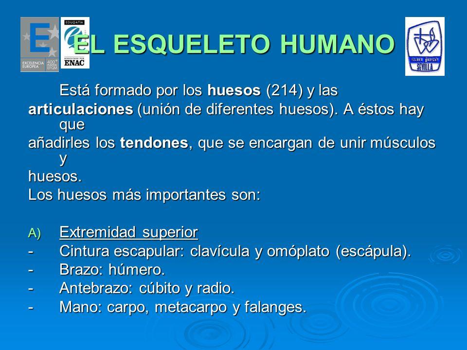 EL ESQUELETO HUMANO Está formado por los huesos (214) y las articulaciones (unión de diferentes huesos). A éstos hay que añadirles los tendones, que s