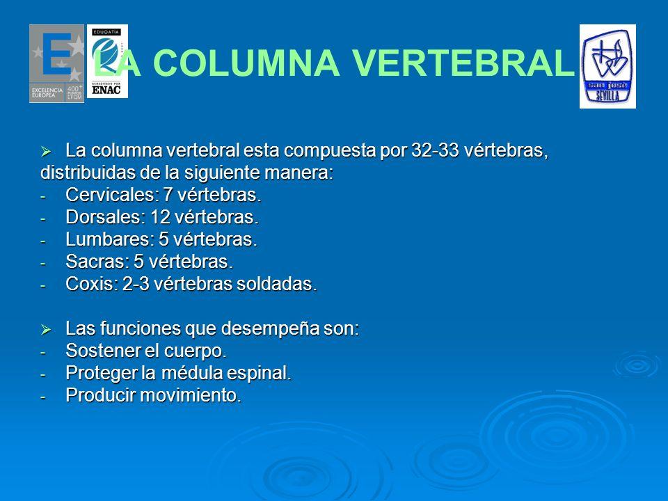 LA COLUMNA VERTEBRAL La columna vertebral esta compuesta por 32-33 vértebras, La columna vertebral esta compuesta por 32-33 vértebras, distribuidas de