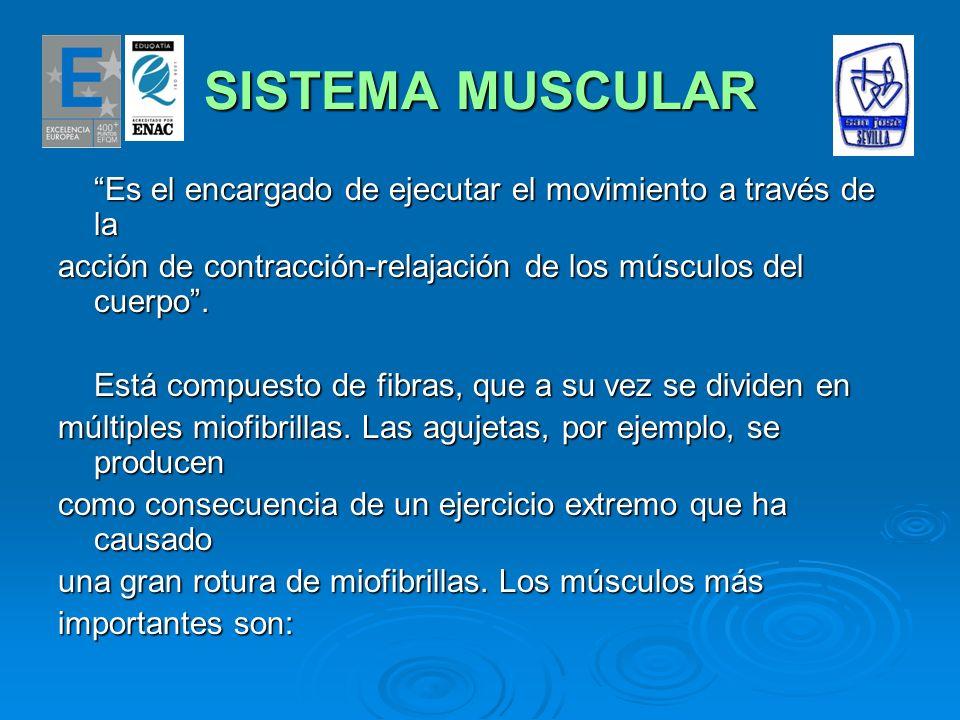 SISTEMA MUSCULAR Es el encargado de ejecutar el movimiento a través de la acción de contracción-relajación de los músculos del cuerpo. Está compuesto