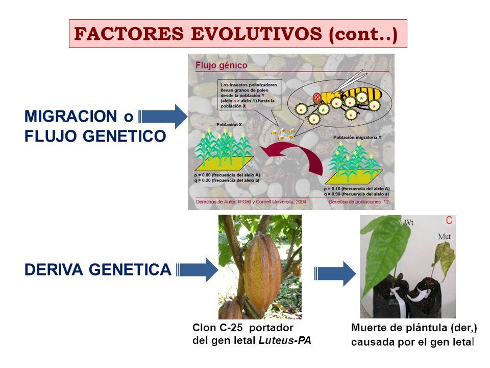 MIGRACION o FLUJO GENETICO DERIVA GENETICA FACTORES EVOLUTIVOS (cont..) Clon C-25 portador del gen letal Luteus-PA Muerte de plántula (der,) causada p