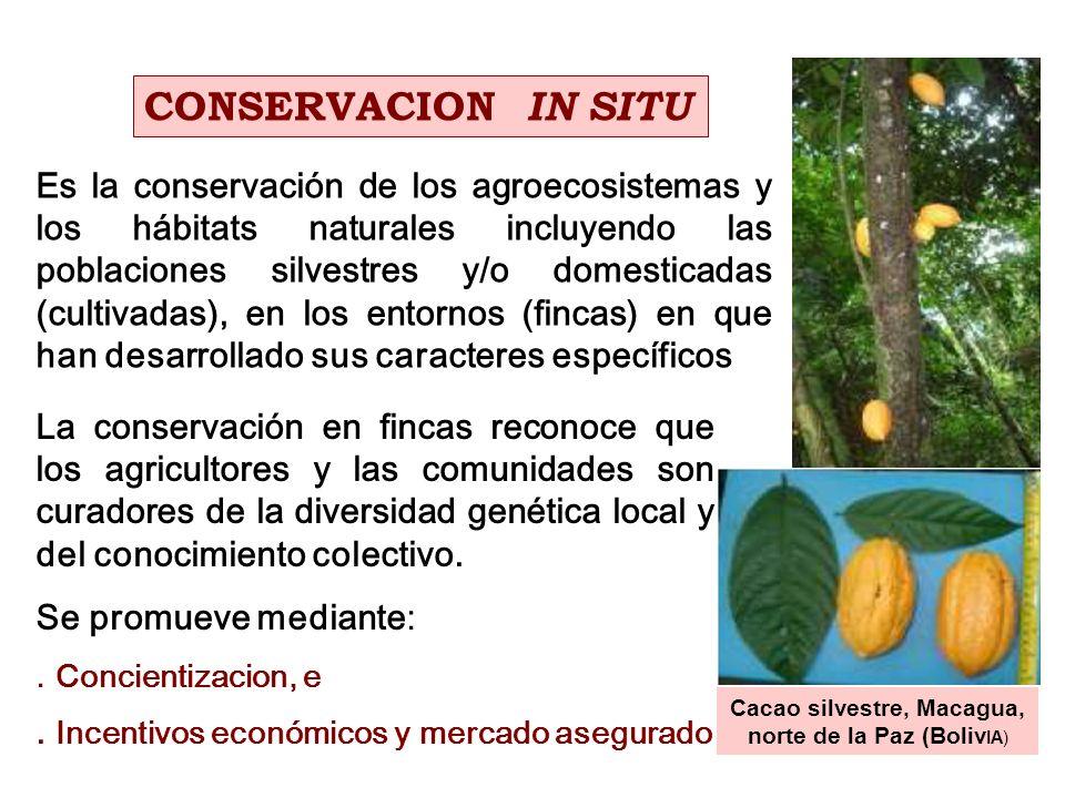 La conservación en fincas reconoce que los agricultores y las comunidades son curadores de la diversidad genética local y del conocimiento colectivo.