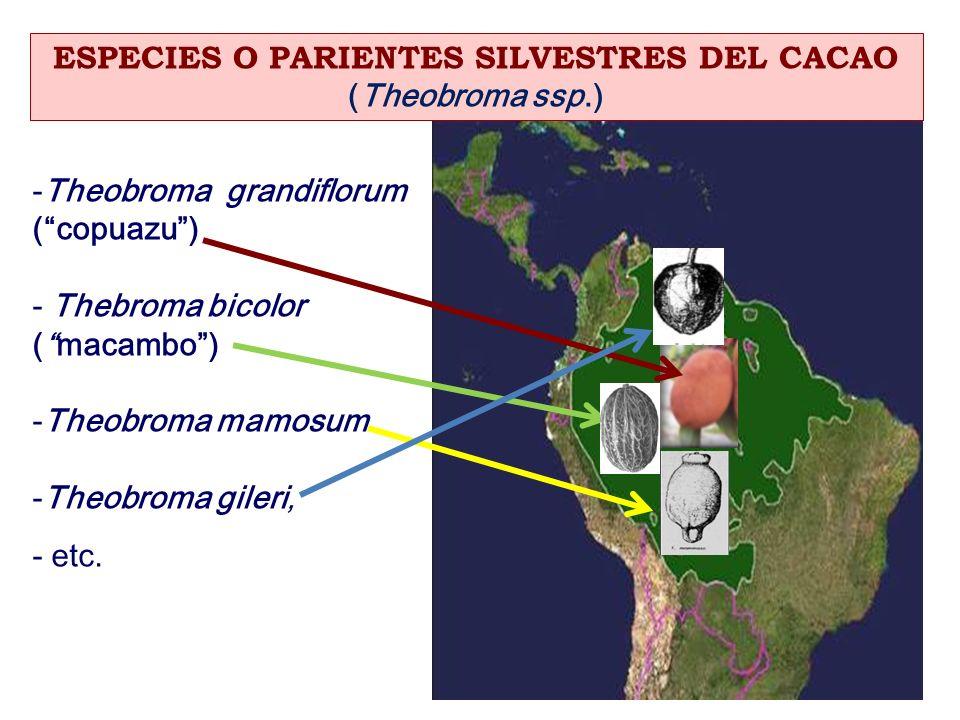 ESPECIES O PARIENTES SILVESTRES DEL CACAO (Theobroma ssp.) -Theobroma grandiflorum (copuazu) - Thebroma bicolor (macambo) -Theobroma mamosum -Theobrom