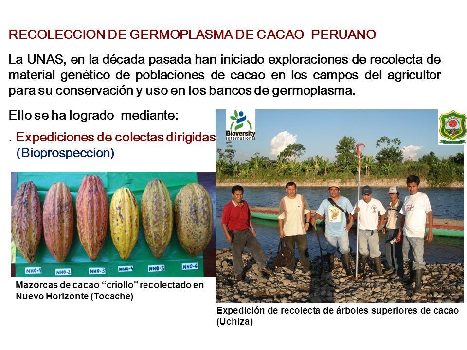 RECOLECCION DE GERMOPLASMA DE CACAO PERUANO La UNAS, en la década pasada han iniciado exploraciones de recolecta de material genético de poblaciones d