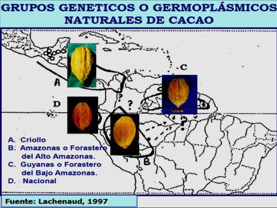 CLASIFICACION ACTUAL DEL GERMOPLASMA DE CACAO (Motamayor et. al, 2008)