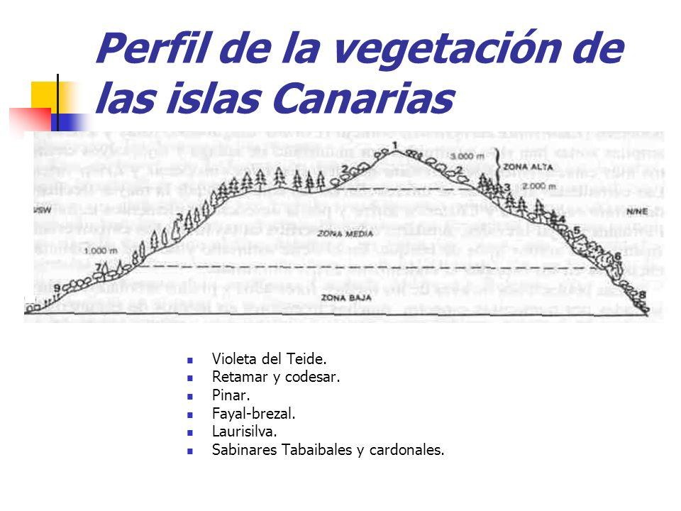 Perfil de la vegetación de las islas Canarias Violeta del Teide. Retamar y codesar. Pinar. Fayal-brezal. Laurisilva. Sabinares Tabaibales y cardonales