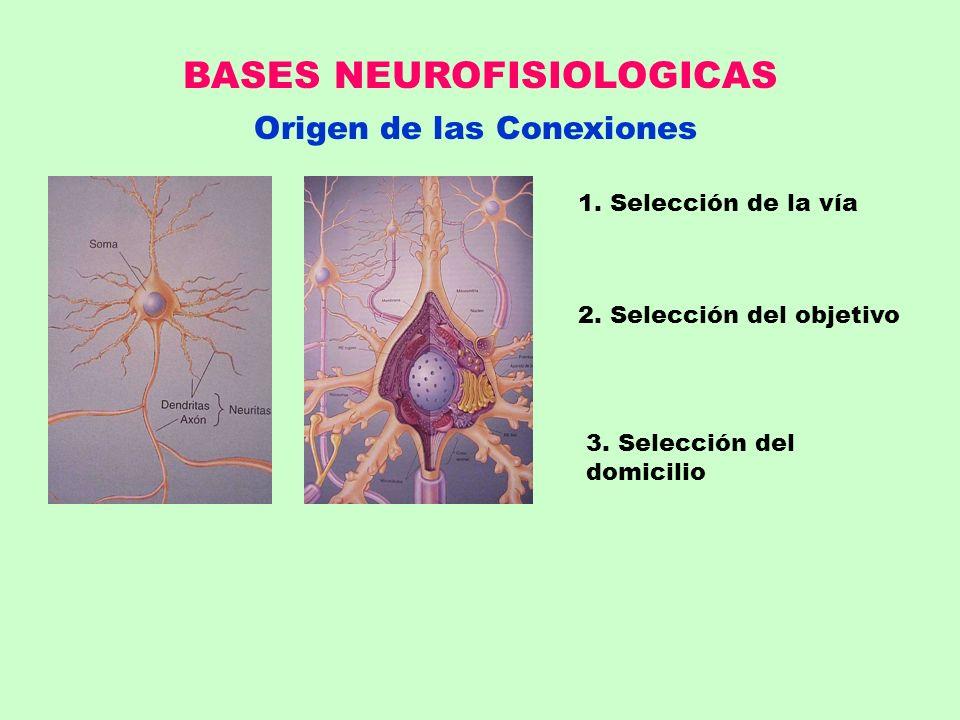 BASES NEUROFISIOLOGICAS Origen de las Conexiones 1. Selección de la vía 2. Selección del objetivo 3. Selección del domicilio