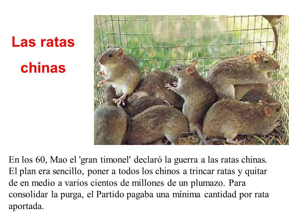 Las ratas chinas En los 60, Mao el gran timonel declaró la guerra a las ratas chinas.