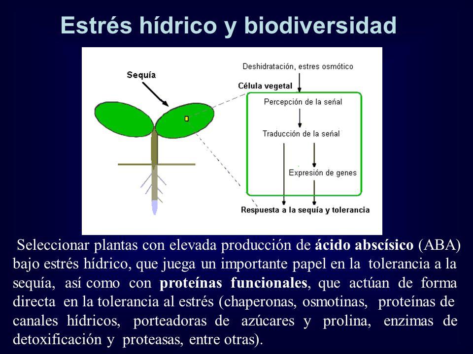 Estrés hídrico y biodiversidad Seleccionar plantas con elevada producción de ácido abscísico (ABA) bajo estrés hídrico, que juega un importante papel