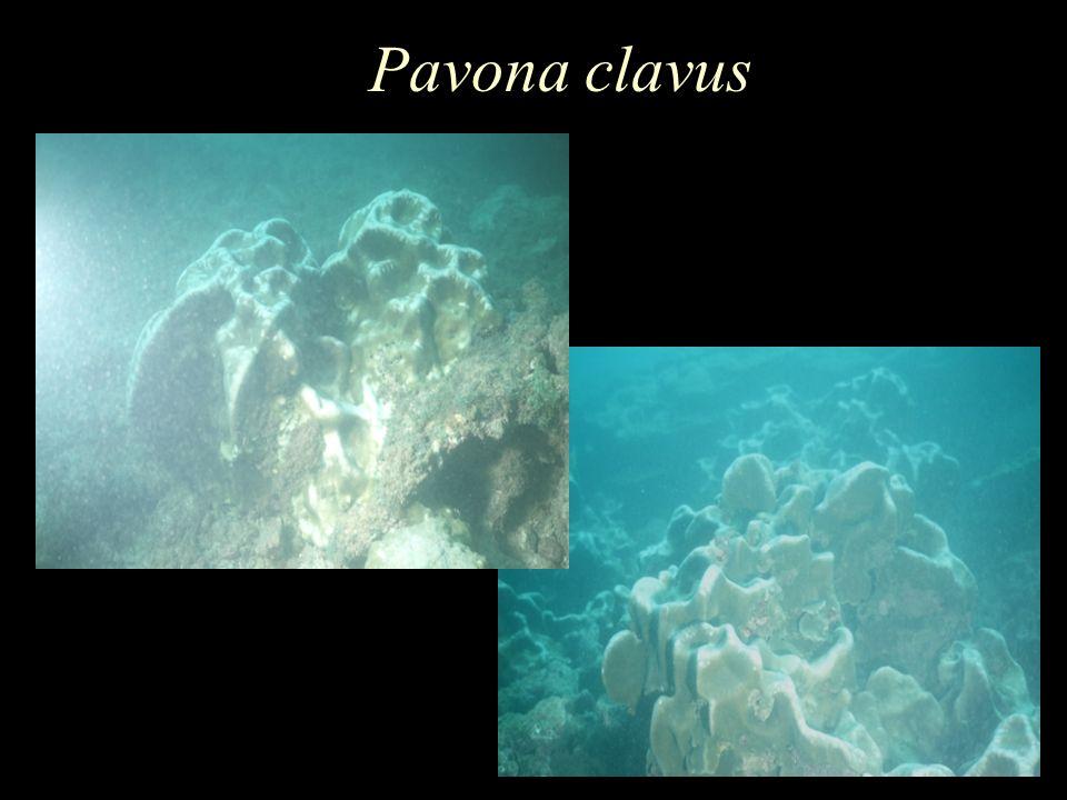 Pavona clavus