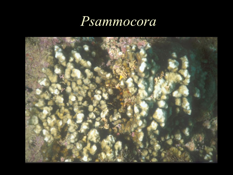 Psammocora