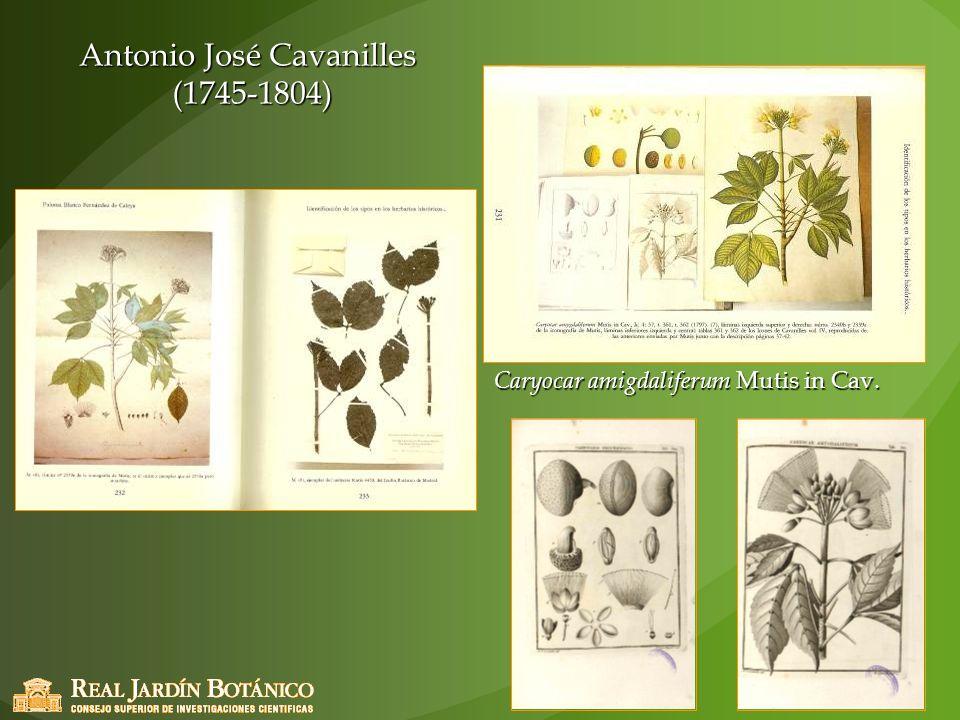 Antonio José Cavanilles (1745-1804) Caryocar amigdaliferum Mutis in Cav.