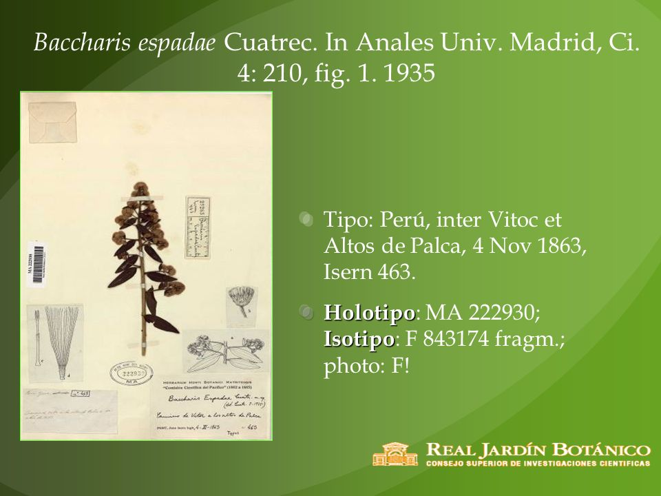 Baccharis espadae Cuatrec. In Anales Univ. Madrid, Ci. 4: 210, fig. 1. 1935 Tipo: Perú, inter Vitoc et Altos de Palca, 4 Nov 1863, Isern 463. Holotipo