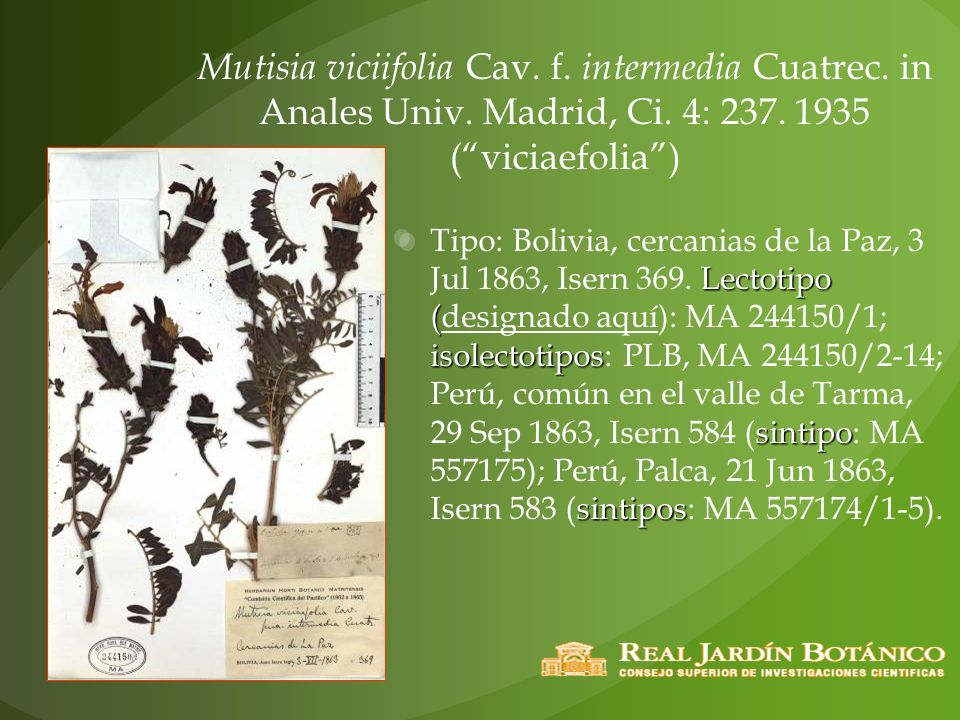 Mutisia viciifolia Cav. f. intermedia Cuatrec. in Anales Univ. Madrid, Ci. 4: 237. 1935 (viciaefolia) Lectotipo ( isolectotipos sintipo sintipos Tipo: