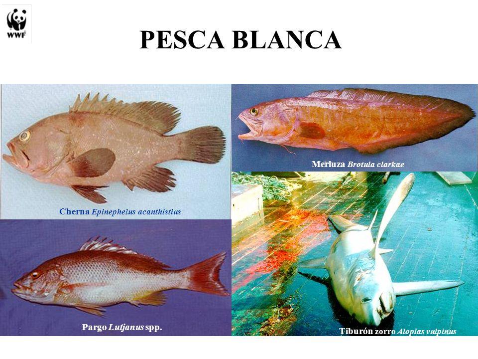 PESCA BLANCA Cherna Epinephelus acanthistius Pargo Lutjanus spp.