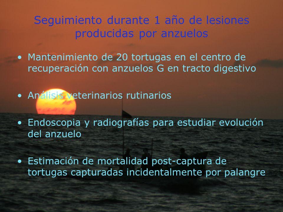Seguimiento durante 1 año de lesiones producidas por anzuelos Mantenimiento de 20 tortugas en el centro de recuperación con anzuelos G en tracto digestivo Análisis veterinarios rutinarios Endoscopia y radiografías para estudiar evolución del anzuelo Estimación de mortalidad post-captura de tortugas capturadas incidentalmente por palangre