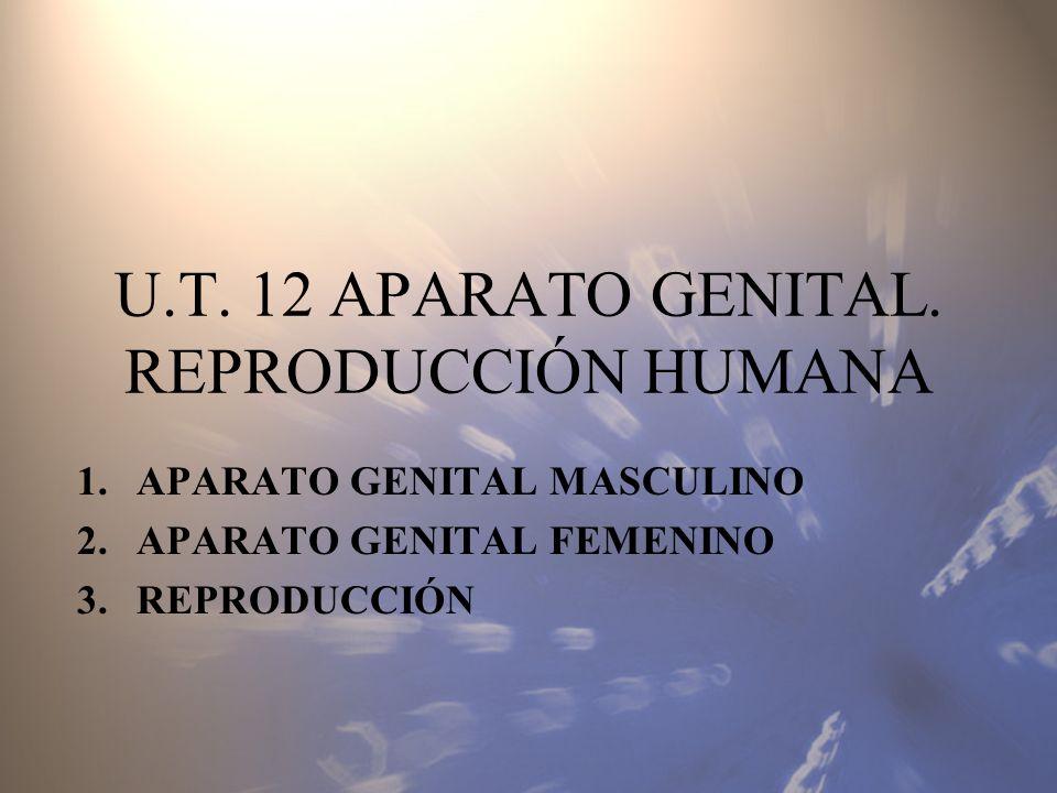 U.T. 12 APARATO GENITAL. REPRODUCCIÓN HUMANA 1.APARATO GENITAL MASCULINO 2.APARATO GENITAL FEMENINO 3.REPRODUCCIÓN