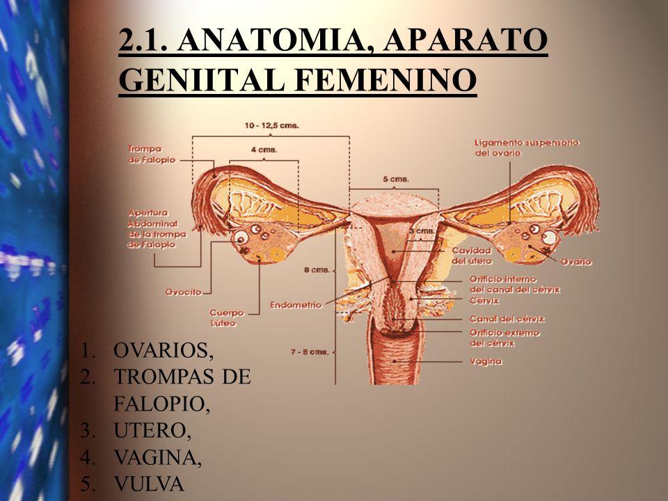 2.1. ANATOMIA, APARATO GENIITAL FEMENINO 1.OVARIOS, 2.TROMPAS DE FALOPIO, 3.UTERO, 4.VAGINA, 5.VULVA